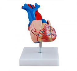 - Kalp Modeli (Gerçek Ölçülerde)